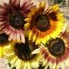ทานตะวันออทั่มบิวตี้ - Autumn Beauty Sunflower
