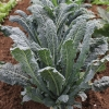 เคลเนโรดิทอสคาน่า - Nero di Toscana Kale