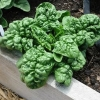 ผักปวยเล้งบลูมสเดล - Bloomsdale Spinach