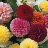 รักเร่ปอมปอมคละสี - Mixed Pompom Dahlia