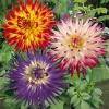 รักเร่แคคตัสคละสี - Mixed Cactus Dahlia