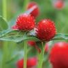 บานไม่รู้โรยสีแดง - Strawberry Gomphrena