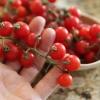 มะเขือเทศเชอรี่สีแดง - Small Red Cherry Tomato