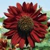 ทานตะวันสีแดงกำมะหยี่ - Velvet Queen Sunflower