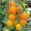 มะเขือเทศซันโกลด์ F1 - Sun Gold F1 Tomato (หวานมาก 11 Brix)