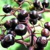 เอลเดอร์เบอรี่ยุโรป - European Elderberry