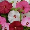 ชบาคละสี - Mixed Hibiscus