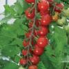 มะเขือเทศสวีทแอพเพอริทิพ - Sweet Aperitif Tomato (หวานมาก 13 Brix)
