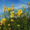 ทานตะวันเม็กซิมิเลียน - Maximilian Sunflower