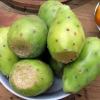 พริคลี่แพร์ผลสีขาว - White fruit Prickly Pear