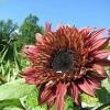 ทานตะวันดับเบิ้ลแดนดี้ - Double Dandy Sunflower