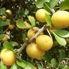 แอปเปิลเคย - Kei apple (Dovyalis caffra)
