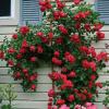 กุหลาบเลื้อยสีแดง - Red Climbing rose