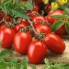 มะเขือเทศโรม่า - Roma Tomato