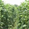 ถั่วฝักยาว - Yard Long Bean (1-1.2 เมตร)