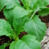 ร็อกเก็ตวาซาบิ - Eruca sativa Wasabi