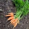แครอทนิ้วมือ - Little Finger Carrot