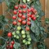 มะเขือเทศชูการ์กลอส F1 - Sugar gloss F1 Tomato (หวานมาก 12 Brix)