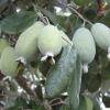 ฝรั่งสับปะรด - Pineapple Guava (Feijoa sellowiana)