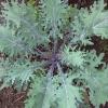 เคลรัสเซียสีแดง - Red Russian Kale