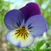ไวโอล่าสามสี - Viola Tricolor