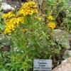 ดาวเรืองเม็กซิโก - Marigold Mexican