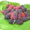 หม่อนม่วง - Purple Mulberry