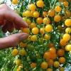 มะเขือเทศเคอเร้นท์สีเหลือง - Yellow Currant Tomato