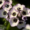 ดอกเบิร์ดอายจิเลีย (หอมเหมือนช็อกโกแลต) - Bird's Eyes (Gilia Tricolor)