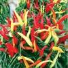 พริกหวานประดับจีน - Chinese Ornamental Sweet Pepper