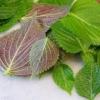 ชิโสะสองสี - Bicolor Perilla