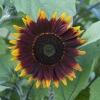 ทานตะวันช็อกโอแลต F1 - Shock-O-Lat Sunflower F1