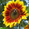 ทานตะวันเรดซัน - Red Sun Sunflower