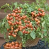 มะเขือเทศมาสคอตก้า - Maskotka Tomato