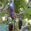 พริกจาลาปิโนสีม่วง - Purple Jalapeno Pepper