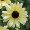 ทานตะวันวานิลาไอซ์ - Vanilla Ice Sunflower