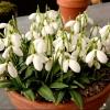 สโนว์ดรอป - Galanthus woronowii