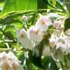 สโนเบลล์ญี่ปุ่น - Japanese Snowbell (ดอกหอม)
