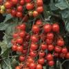 มะเขือเทศซันเชอรี่พรีเมี่ยม F1 - Sun Cherry Premium Tomato F1 (หวาน 12 Brix+)