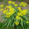 อัลเลี่ยมโมลี่ - Allium moly