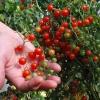 มะเขือเทศสวีทพีเคอเร้นท์ - Sweet Pea Currant Tomato