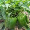 พริกหวานสีเขียว - Green California Wonder Pepper