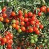 มะเขือเทศสวีทเบบี้- Sweet Baby Tomato