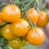 มะเขือเทศเชอรี่สีเหลือง - Yellow Cherry Tomato