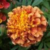 ดาวเรืองสีชมพู - Strawberry Blonde French Marigold