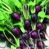 แรดิชมาลากาสีม่วง - Malaga Violet Radish