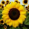 ทานตะวันโกลด์รัช - Gold Rush Sunflower (พันธุ์ตัดดอก)