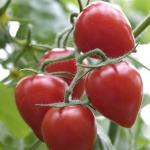 มะเขือเทศหัวใจ - Tomatoberry