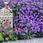 ออเบรต้าสีม่วง - Purple Aubreta