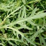 ไวล์ดร็อกเก็ต - Diplotaxis Tenuifolia (Wild Rocket)